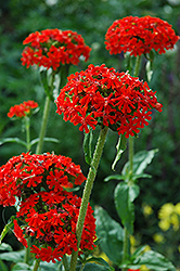 Maltese Cross (Lychnis chalcedonica) at TLC Garden Centers
