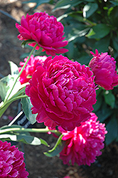 Paul Wild Peony (Paeonia 'Paul Wild') at TLC Garden Centers