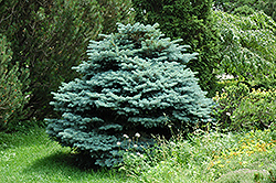 Globe Blue Spruce (Picea pungens 'Globosa') at TLC Garden Centers