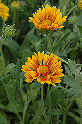 Oranges And Lemons Blanket Flower (Gaillardia x grandiflora 'Oranges And Lemons') at TLC Garden Centers