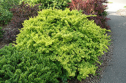 Golden Japanese Barberry (Berberis thunbergii 'Aurea') at TLC Garden Centers