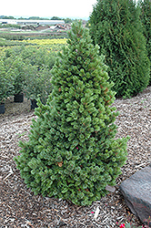 Sherwood Compact Bristlecone Pine (Pinus aristata 'Sherwood Compact') at TLC Garden Centers