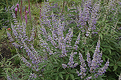 Chaste Tree (Vitex agnus-castus) at TLC Garden Centers