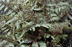 Red Beauty Painted Fern (Athyrium nipponicum 'Red Beauty') at TLC Garden Centers