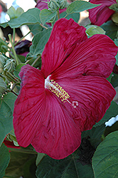 Bordeaux Hibiscus (Hibiscus moscheutos 'Bordeaux') at TLC Garden Centers