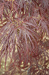 Garnet Cutleaf Japanese Maple (Acer palmatum 'Garnet') at TLC Garden Centers