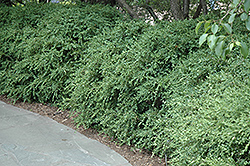 Wintergreen Boxwood (Buxus microphylla 'Wintergreen') at TLC Garden Centers