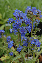 Blue Angel Summer Forget-Me-Not (Anchusa capensis 'Blue Angel') at TLC Garden Centers
