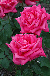 Miss All American Beauty Rose (Rosa 'Miss All American Beauty') at TLC Garden Centers