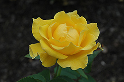 Midas Touch Rose (Rosa 'Midas Touch') at TLC Garden Centers