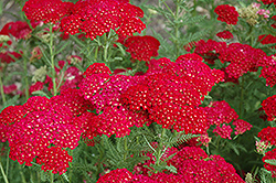 Pomegranate Yarrow (Achillea millefolium 'Pomegranate') at TLC Garden Centers