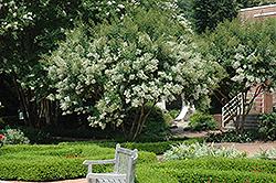 Natchez Crapemyrtle Lagerstroemia Natchez In Oklahoma