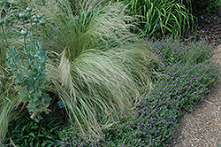 Mexican Feather Grass (Nassella tenuissima) at TLC Garden Centers