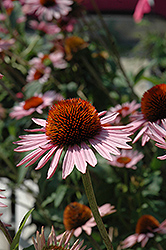 Hope Coneflower (Echinacea 'Hope') at TLC Garden Centers