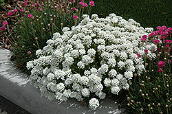 Tahoe Candytuft (Iberis sempervirens 'Tahoe') at TLC Garden Centers