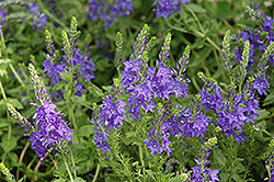Crater Lake Blue Speedwell (Veronica austriaca 'Crater Lake Blue') at TLC Garden Centers