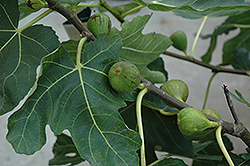 Mission Fig (Ficus carica 'Mission') at TLC Garden Centers