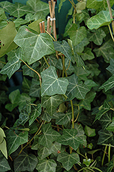 Thorndale Ivy (Hedera helix 'Thorndale') at TLC Garden Centers