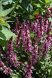 Sensation Rose Sage (Salvia nemorosa 'Sensation Rose') at TLC Garden Centers