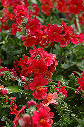Sunsatia Cranberry Nemesia (Nemesia 'Sunsatia Cranberry') at TLC Garden Centers