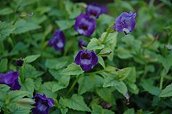 Summer Wave® Large Violet Torenia (Torenia 'Summer Wave Large Violet') at TLC Garden Centers