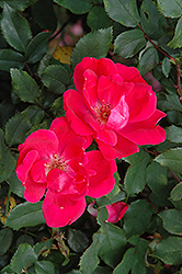 Red Knock Out® Rose (Rosa 'Red Knock Out') at TLC Garden Centers