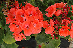 Rocky Mountain Salmon Geranium (Pelargonium 'Rocky Mountain Salmon') at TLC Garden Centers
