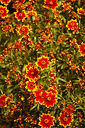 Highland Blast Tickseed (Coreopsis 'Highland Blast') at TLC Garden Centers