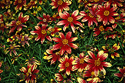 Route 66 Tickseed (Coreopsis verticillata 'Route 66') at TLC Garden Centers