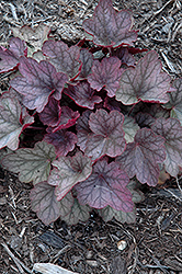 Carnival Rose Granita Coral Bells (Heuchera 'Rose Granita') at TLC Garden Centers