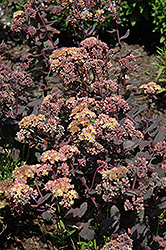 Yellow Xenox Stonecrop (Sedum 'Yellow Xenox') at TLC Garden Centers
