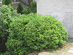 Japanese Euonymus (Euonymus japonicus) at TLC Garden Centers