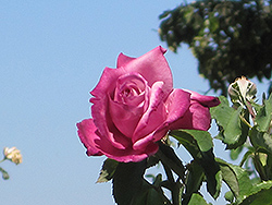 Fragrant Plum Rose (Rosa 'Fragrant Plum') at TLC Garden Centers