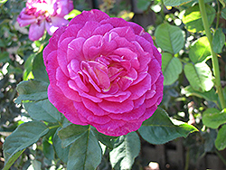 Outta The Blue Rose (Rosa 'Outta The Blue') at TLC Garden Centers