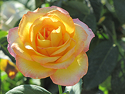 Gold Medal Rose (Rosa 'Gold Medal') at TLC Garden Centers