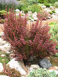 Orange Rocket Japanese Barberry (Berberis thunbergii 'Orange Rocket') at TLC Garden Centers