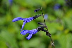 Black And Blue Anise Sage (Salvia guaranitica 'Black And Blue') at TLC Garden Centers