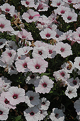 Supertunia Vista® Silverberry Petunia (Petunia 'Supertunia Vista Silverberry') at TLC Garden Centers