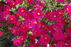 SuperCal® Neon Rose Petchoa (Petchoa 'SuperCal Neon Rose') at TLC Garden Centers