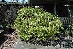 Waterfall Japanese Maple (Acer palmatum 'Waterfall') at TLC Garden Centers