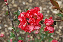 Double Take Pink™ Flowering Quince (Chaenomeles speciosa 'Double Take Pink Storm') at TLC Garden Centers