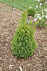 Green Mountain Boxwood (Buxus 'Green Mountain') at TLC Garden Centers