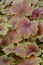 Delta Dawn Coral Bells (Heuchera 'Delta Dawn') at TLC Garden Centers
