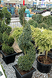 Green Mountain Boxwood (spiral form) (Buxus 'Green Mountain (spiral)') at TLC Garden Centers