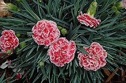 Coral Reef Pinks (Dianthus 'WP07OLDRICE') at TLC Garden Centers
