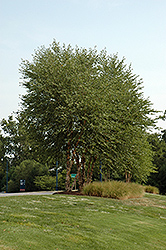 Heritage River Birch (clump) (Betula nigra 'Heritage (clump)') at TLC Garden Centers