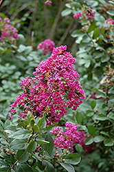 Twilight Crapemyrtle (Lagerstroemia indica 'Twilight') at TLC Garden Centers