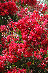Red Rocket Crapemyrtle (Lagerstroemia indica 'Whit IV') at TLC Garden Centers