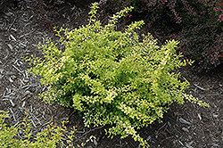 Golden Dream Japanese Barberry (Berberis thunbergii 'Golden Dream') at TLC Garden Centers