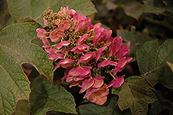 Ruby Slippers Hydrangea (Hydrangea quercifolia 'Ruby Slippers') at TLC Garden Centers